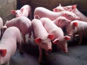 如何养好猪,做到这几点,轻松养殖多赚钱?