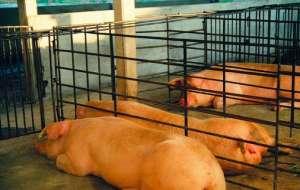 母猪便秘的症状、原因与预防措施?