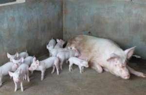 母猪养殖技术