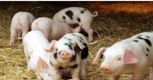 母猪奶水少、奶水稀薄,可能患了母猪泌乳障碍!