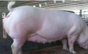 如何减少母猪的热应激反应的技巧?
