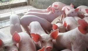 怎样提高哺乳仔猪诱食的成功率?