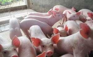 仔猪在四十天过后应该喂什么料?