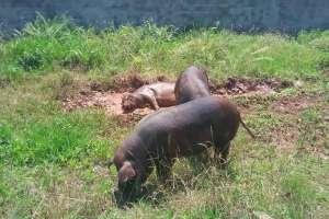 跑山猪的养殖前景