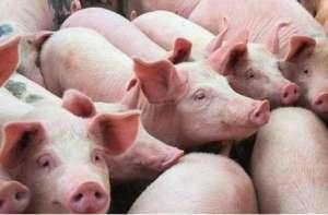 喂猪吃料也要讲究先后顺序?