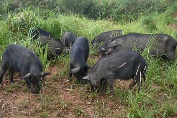 藏香猪养殖利润高为什么没人养