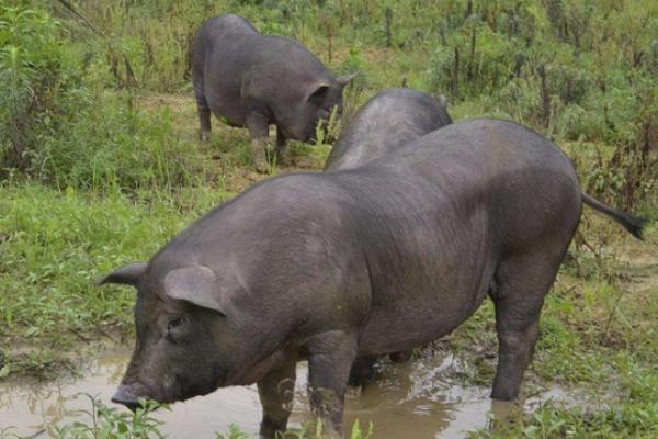 跑山猪的利润与成本