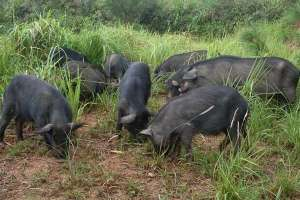 藏香猪养殖利润高吗?
