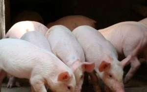 养猪怎么做可以节约成本?