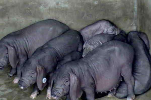 世界上最重的猪有多少斤,是什么品种的猪?