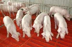 2021年6月23日全国各地(10至14公斤)仔猪今日价格行情