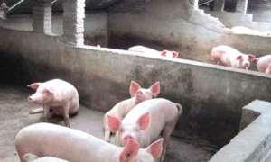 养猪的注意了!这些东西千万不能给猪吃