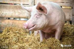 养猪技术:想治猪病并不难,记熟自己能诊断(收藏)!