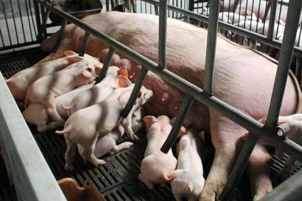 猪用阿莫西林的作用