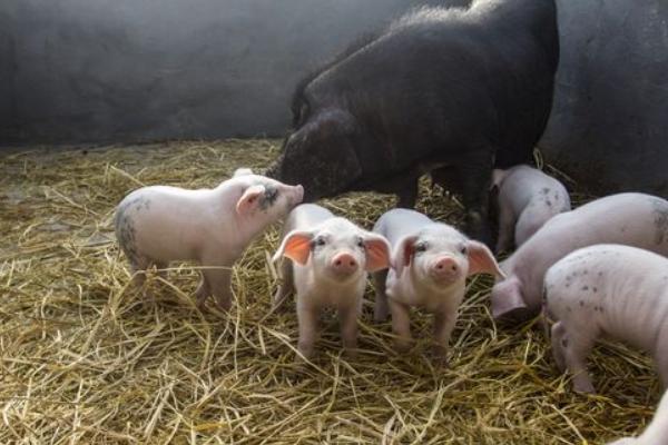 猪饲料品牌