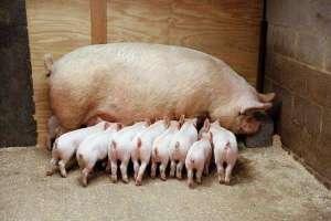 母猪圈怎么设计合理,附常见标准尺寸及设计方式