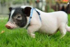 小香猪好养吗?为什么小香猪销售难