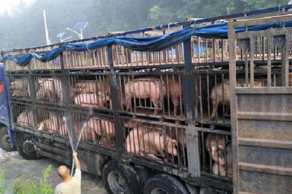 温氏养猪户风险在哪