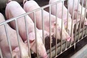 猪冬天喝热水还是冷水