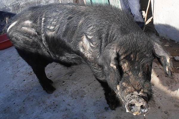 黑猪品种有哪些 长得最快的黑猪品种是什么