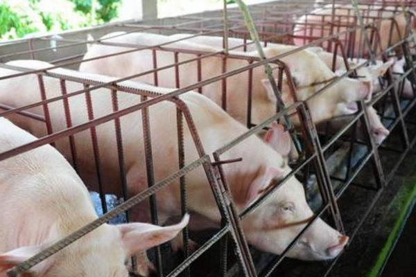 公猪料配方,后备公猪喂什么料