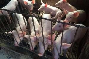 温氏养猪户风险在哪?