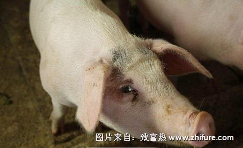 小猪腹泻死亡率为何比大猪腹泻死亡率高?