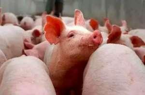 养猪户必看 如何高效的使用饲料