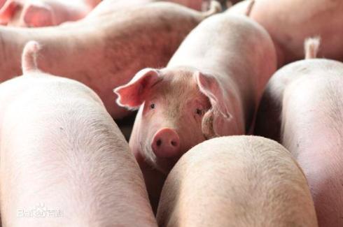 教你如何识猪病?