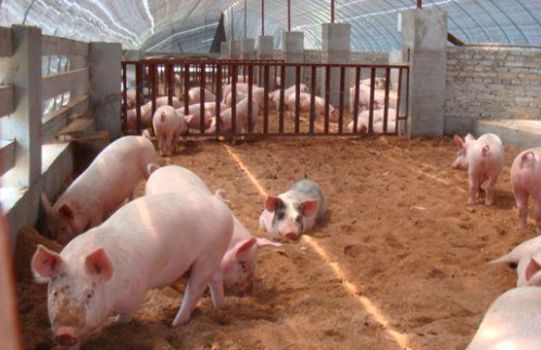 猪为什么吃了荞麦会中毒?猪荞麦中毒怎么治?