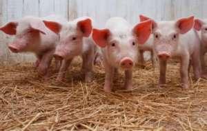 猪价超低时,养猪人如何不亏损或少亏损?