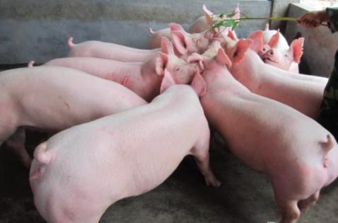 【炎炎夏日&暑气难消】猪场该如何避免猪群'热源过重'?