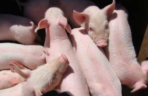 让仔猪3周龄就能断奶的新技术,记住这几点!