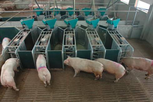 农村小规模养猪场产房管理的关键技术