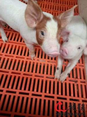 猪场防暑降温容易出现的误区