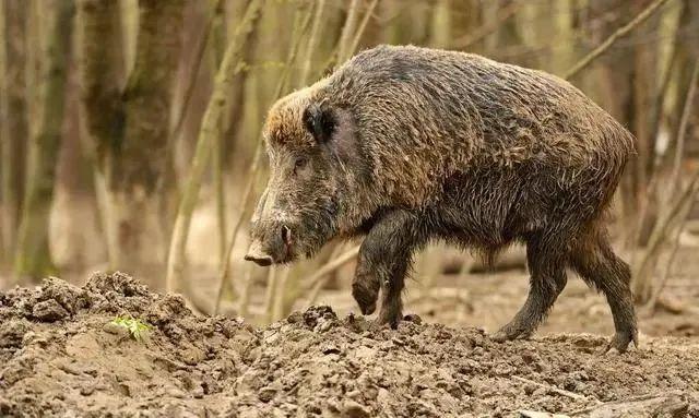 德国养猪场确认首例非洲猪瘟