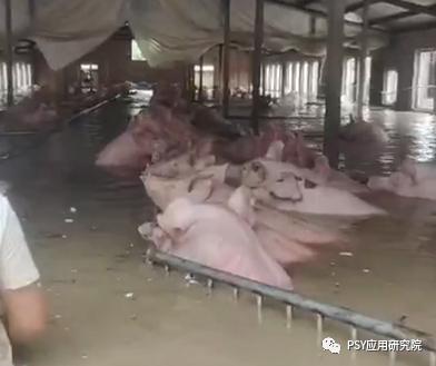 暴雨水灾过后,猪场一定要重点关注这4个方面工作?
