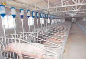 猪场小设计!采光保暖就这么做,让猪健康生长!