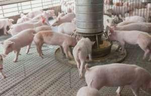 今年猪价持续下行态势下 养猪如何确保较高利润?