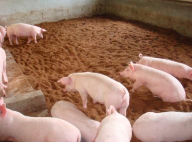 治疗猪丹毒的药,猪丹毒如何治疗?