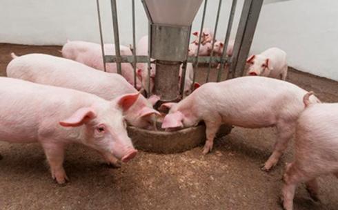 冬季气温低养猪栏舍建设的技巧