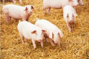 养猪长期使用抗菌药的危害