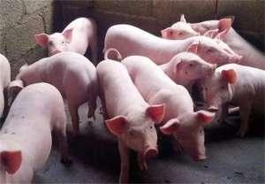 新建养猪场时要注意什么问题?新建养猪场常见的问题
