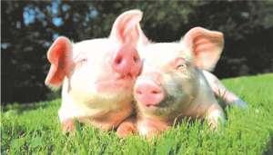 在养猪场的设计中要注意哪些细节?记住以下两点