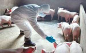 我家猪场做疫苗不管用,错出在哪儿?