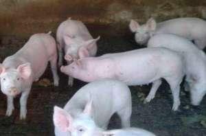 引起断奶后仔猪腹泻的几种常见病,你知道吗?