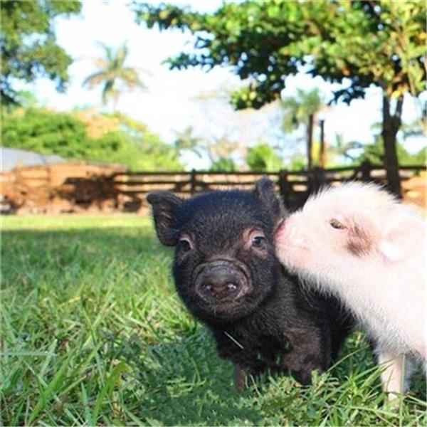 夏季猪中暑的快速急救办法