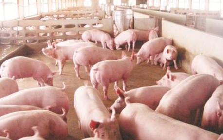 生猪产业正在经历剧烈调整