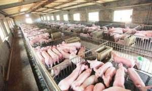 """如何减少猪场""""弱仔"""",提高养猪效益!"""