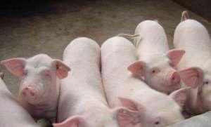 六种常见猪传染病症状及防治方法